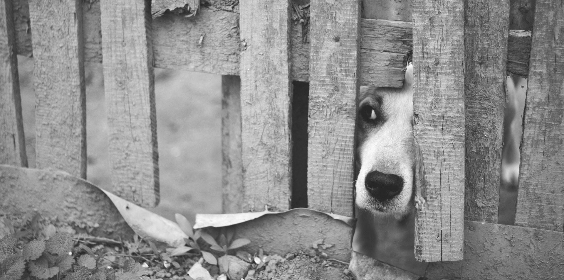 Kutyus kiles a kerítés nyílásán